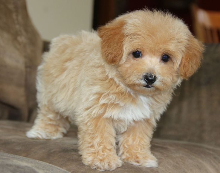 Full Grown Teacup Maltipoo