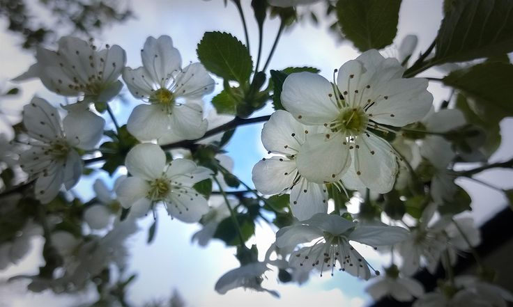 Cherry blossoms from my garden