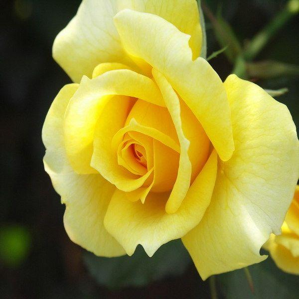 Flower Roses Pinterest: Yellow Rose Glitter Graphics