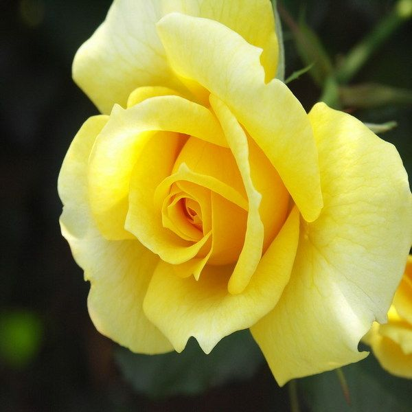 Yellow Rose glitter graphics   Yellow Roses