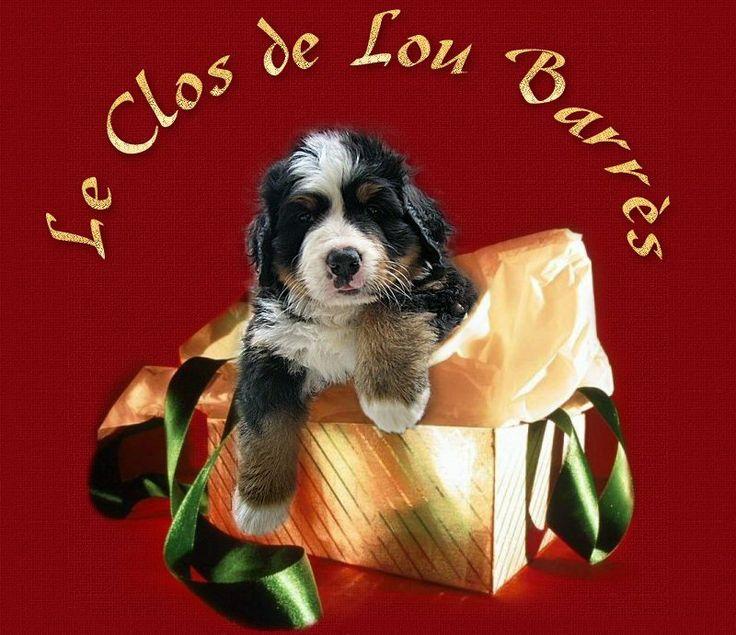 les bouviers bernois du Clos de Lou Barrès - Elevage familial de Bouvier Bernois, nos bernois, nos portées, des conseils santé, croissance, ...