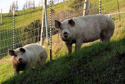 Devils Gulch Ranch Pork Meats: Duroc or Berkshire boar