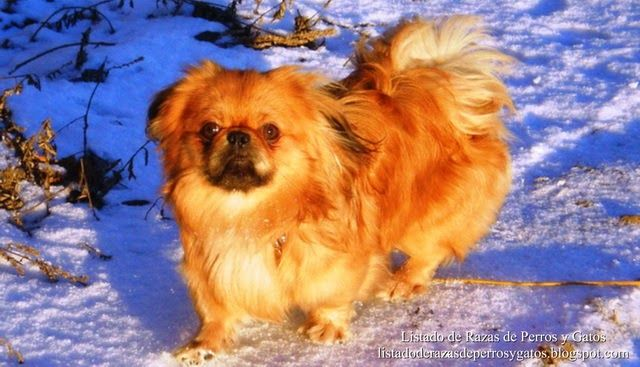 Fotografía de un Pequinés (Pekinés) disfrutando de un día en la nieve. Raza de perro (Photograph of a Pekingese, enjoying a day in the snow. Breed of dog).