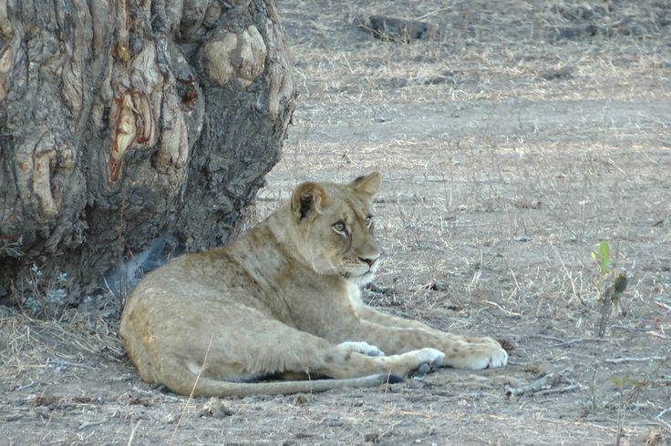 A big pussy cat in Africa. www.lovinginlimbo.com