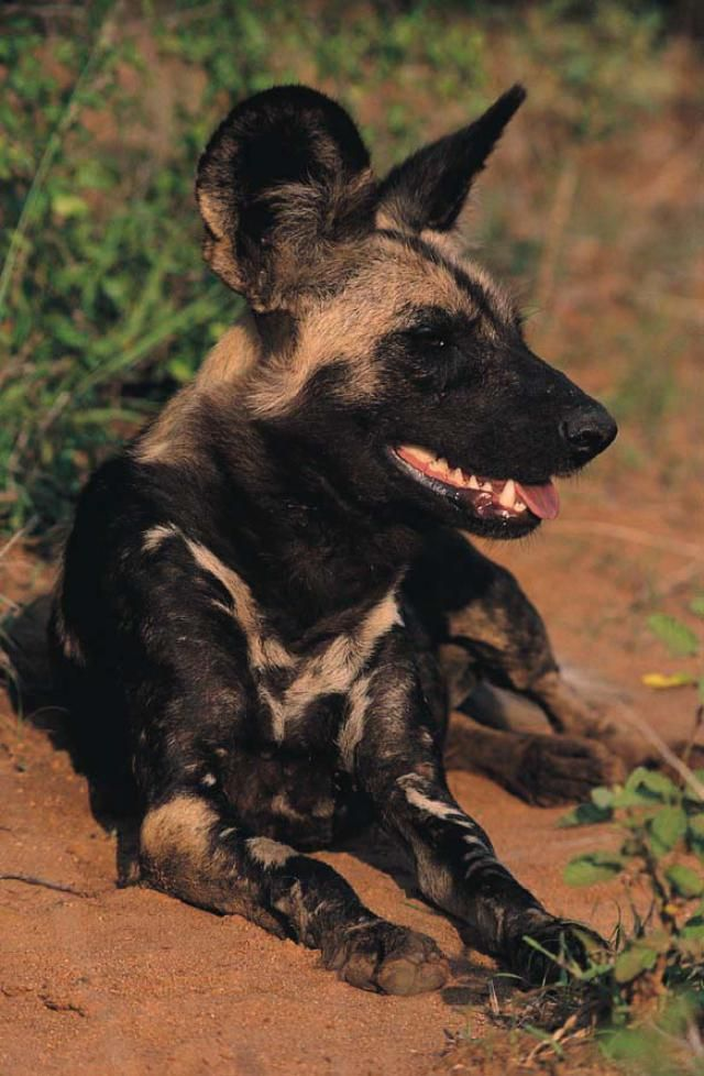 African Wild Dog - Fun Facts and Information About This Rare Animal: Wild Dog, KNP