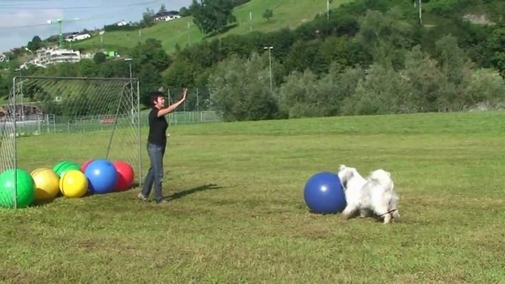 Treibball - directing the dog