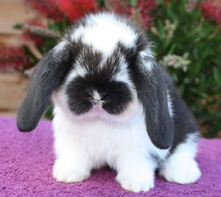 The French Lop Rabbit http://rabbithutchzone.com/ #french #lop #rabbit