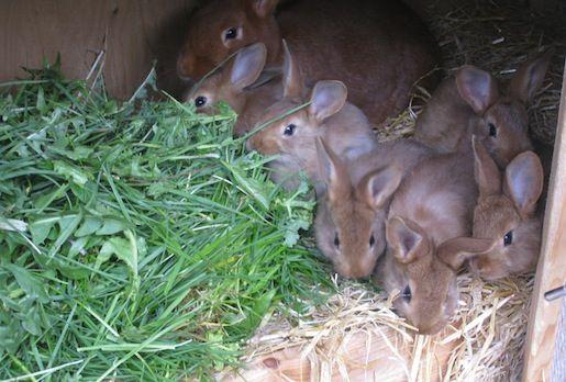 Kaninunger 4 uger gamle