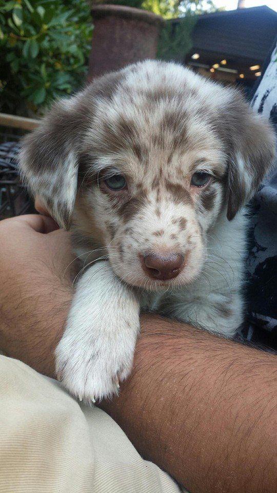 Aussiedor (Australian Shepherd x Labrador)