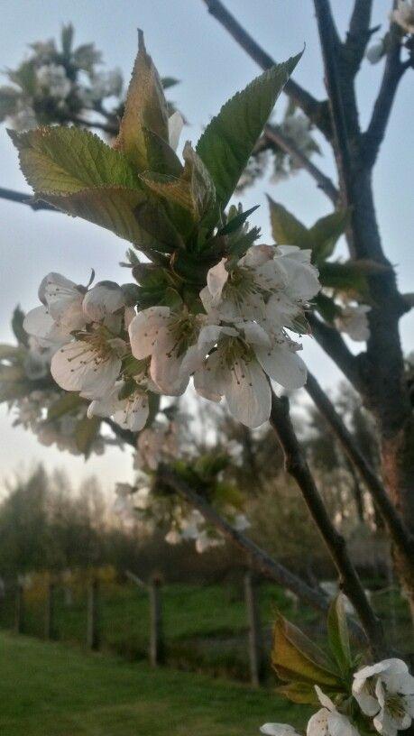 Kwiat wczesnej wiśni :)