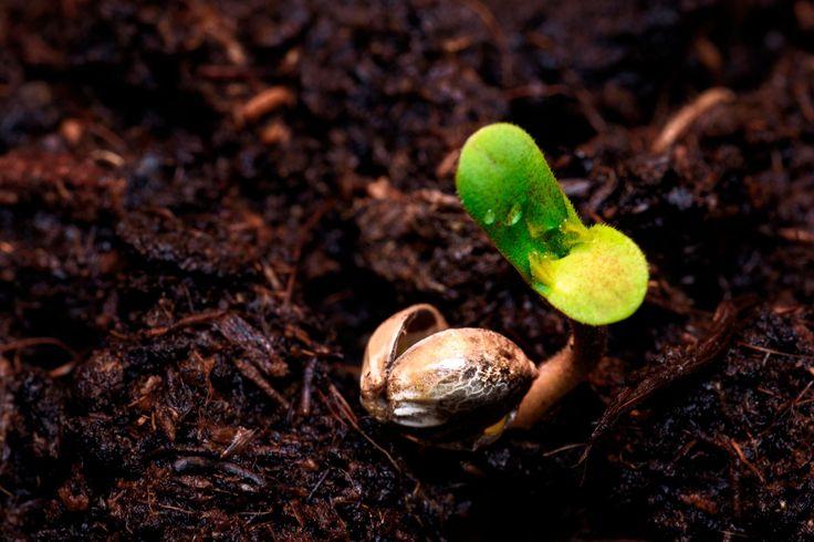 El cáñamo BIO: El cáñamo industrial es una planta muy resistente que apenas requiere de pesticidas y exceso de abonos, no obstante el cáñamo en el mercado puede ser ecológico o no y eso se refleja en la calidad y en el precio. Hempatiza desde su inicio ha apostado por el cáñamo ecológico el cual a diferencia del cáñamo convencional, se cultiva en terrenos certificados ecológicamente para cáñamo industrial con semillas ecológicas. #cáñamo #agricultura #bio #orgánica #sostenibilidad