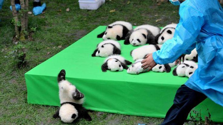 """FAMILIA NUMEROSA.  23 pandas gigantes, nacidos en 2016, tomaron la pose para una fotografía de familia en el Centro de Investigación sobre la Pandas Gigantes de Chengdu, provincia de Sichuan.  Gracias a """"numerosas"""" nacimientos en cautiverio el animal fue retirado de las especies en peligro de extinción que se incluirán en el de las especies vulnerables."""