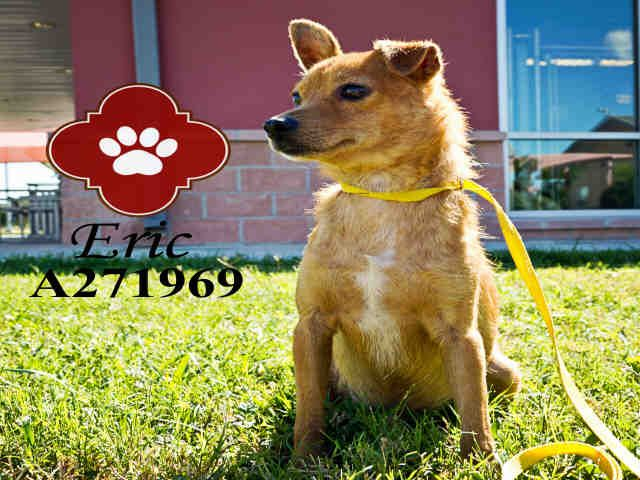 Hello! My name is Eric! ID A271969. I am located in San Antonio ACS shelter, I am handsome right? I am a male brown chihuahua Smooth coated mix. age unknown. To adopt 210-207-6666 To Foster 210-207-6669. Please adopt me! Thank you! PetHarbor.com: Animal Shelter adopt a pet; dogs, cats, puppies, kittens! Humane Society, SPCA. Lost & Found.