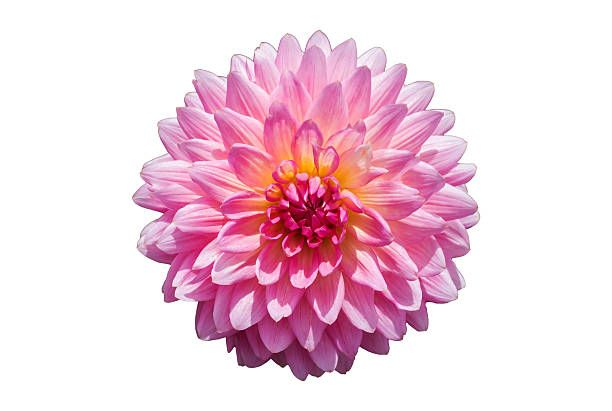 Resolution 612x411 Size 31 Kb Pink Chrysanthemum Flower Isolated On White Background Chrysanthemum Flower Flowers Chrysanthemum