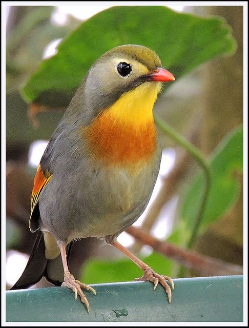 Red-billed Leiothrix (Leiothrix lutea) is a member of the Leiothrichidae family, and is native to the Indian subcontinent. It is also called Pekin Robin or Pekin Nightingale.