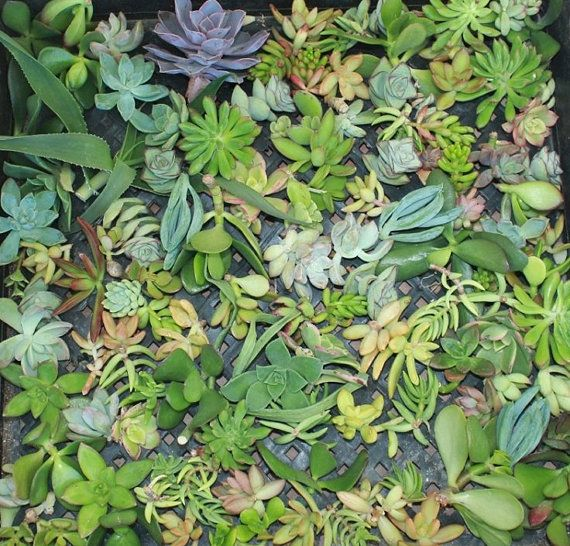 50 BEAUTIFUL succulent CUTTINGS perfect for by TheSucculentSource