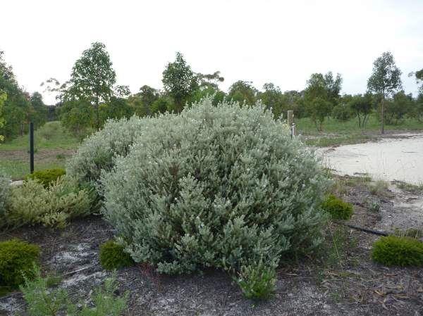Coast Rosemary or Australian RosemaryWestringia fruticosa