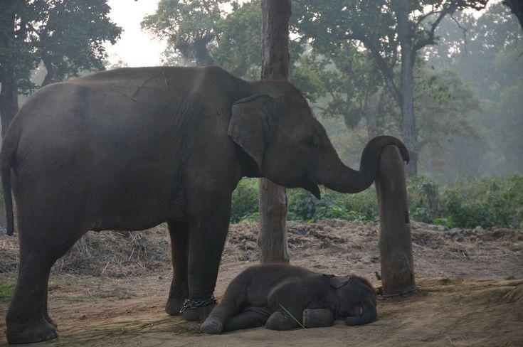 Хобот устал и слоненок устал / National park Chitwan in Nepal #elephant