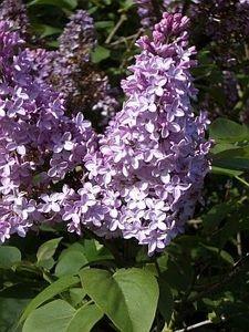Lilac Plant Care thumbnail