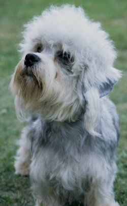 Dandie Dinmont Terrier, can dig deep large holes in a short amount of time.