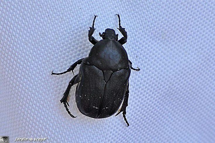 Un petit scarabée noir commun en Corse...