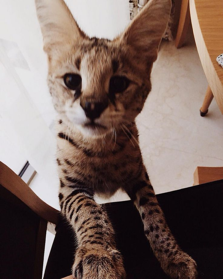 https://flic.kr/p/CxdDgf | Even a little cat can become your big friend) let alone this huge baby))) #serval #cat #cute #cutecat #pets #ilovecats #lovely #pretty #amazing #fun #kitty #beautiful #awesome #funny #love #friend #inspiring