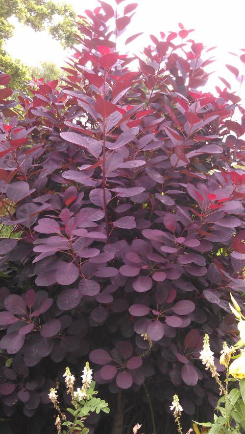 purple smoke tree  cotinus royal purple | For sale Cotinus coggygria 'Royal Purple' - 2Ltr £6.99