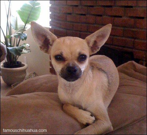 Deer Head Chihuahua Chocolate