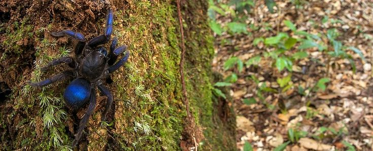 A previously unknown tarantula discovered in the forests of Guyana in South America is absolutely stunning – its legs and body are a shimmering electric disco blue. The find, according to the tarantula's discoverer Andrew Snyder, is an important one, and not just because it's such an unusual example of the Theraphosidae family. It highlights