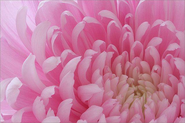 pink: Amazing Flowers, Bahman Farzad, Pink Flowers, Pastel Cerveza Tennis, Colors Rose, Pastel Pink, Beautiful Flowers, Flowers Ideas, Gardens Plants