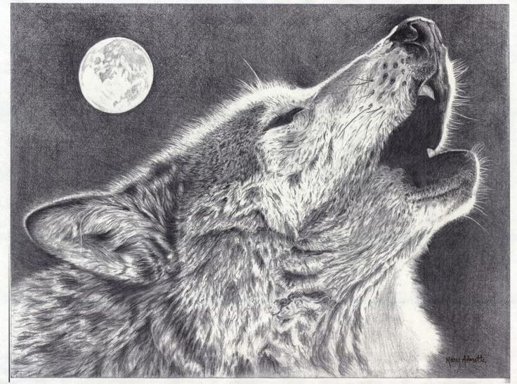 Gray Wolf Howling Drawing 17 Best images about a...