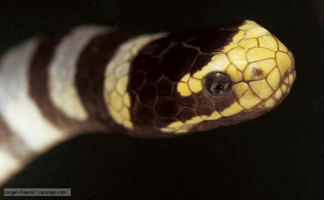 BBC Nature - Banded sea krait videos, news and facts