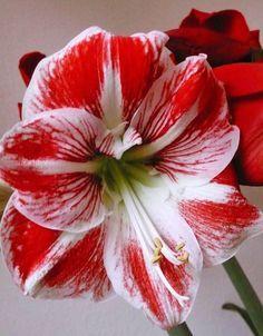 Las flores de Hippeastrum podemos disfrutarlas tanto formando parte de ramos florales como cultivadas en la modalidad de planta en maceta. En los dos casos, su espectacularidad está fuera de cualquier discusión. - http://www.floresyplantas.net/hippeastrum/