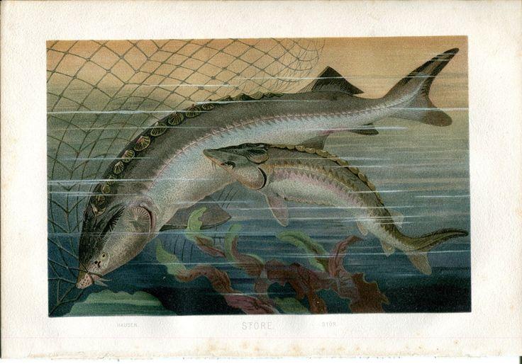 1893 FISH BELUGA STURGEON Antique Chromolithograph Print BREHMS | eBay