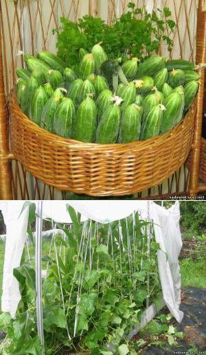 Огурцы:новый способ выращивания