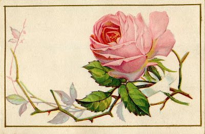 Pink cabbage rose with thorns