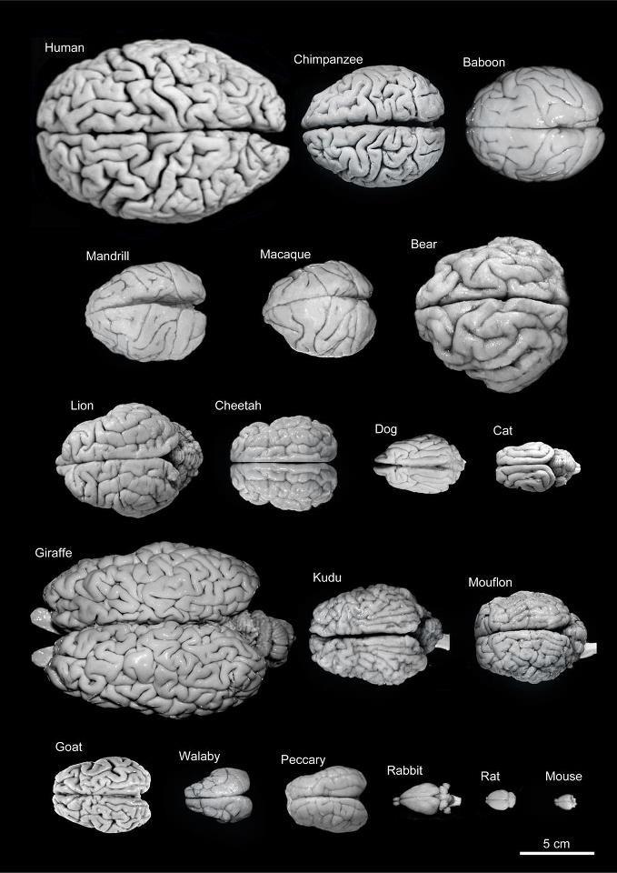Variability of brain size and external topography.    Primates:  Human 1.176 kg  Chimpanzee 273 g  Baboon 151 g  Mandrill 123 g  Macaque 110 g    Carnivores:  Bear 289 g  Lion 165 g  Cheetah 119 g  Dog 95 g  Cat 32 g    Artiodactyls:  Giraffe 700 g  Kudu 166 g  Mouflon 118 g  Ibex 115 g  Peccary 41 g    Marsupials:  Wallaby 28 g    Lagomorphs:  Rabbit 5.2 g    Rodents:  Rat 2.6 g  Mouse 0.5 g