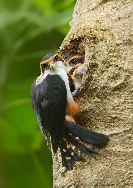 Collared falconet nest