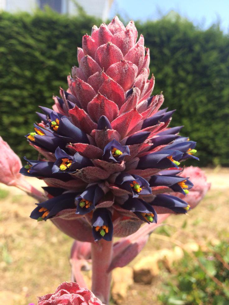 Chagualillo comenzando a florecer