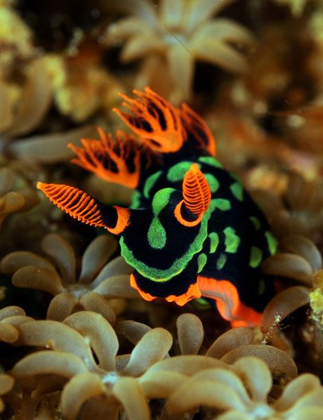 Nembrotha Kubaryana is a neon-colored nudibranch that dwells in the Tropical Indo-West Pacific