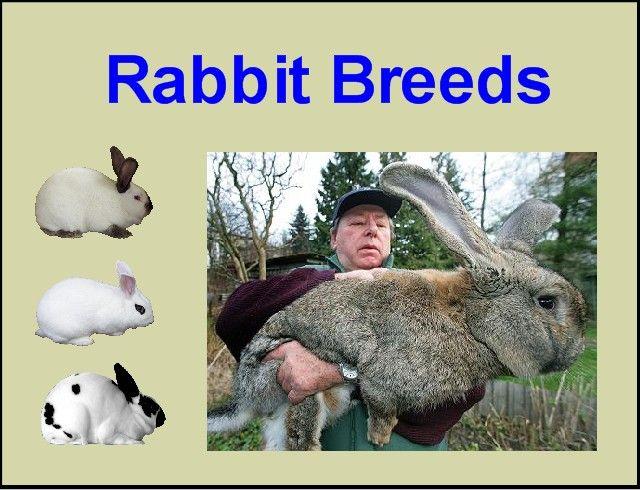 Breeds of Rabbits