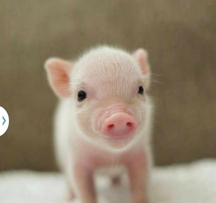 Best 25+ Baby pigs ideas on Pinterest | Baby piglets, Cute ...