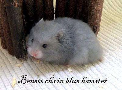 Benett chs in blue hamster