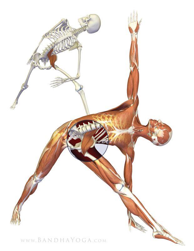 7 besten Yogastillinger anatomi Bilder auf Pinterest   Yoga anatomie ...