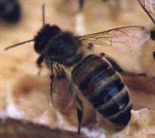 Dave Cushman's site Apis mellifera mellifera type bee that has worn away some of it's tomentum hair