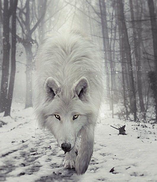 joli loup...blanc..