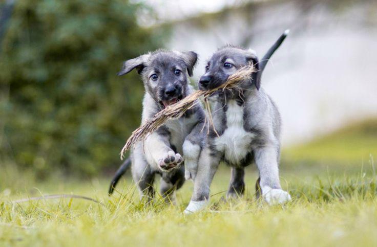 ¡Guau! Confirmado científicamente el primer caso de cachorros gemelos del mundo ¿no son adorables? 💜 / perros / Mediterranean Natural / Imagen: news.nationalgeographic.com