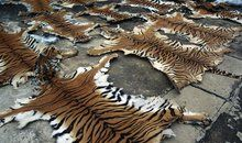 China comes clean about trading in tiger skin SMITHSONIAN