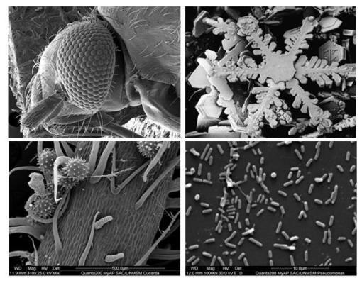 Micrografía electrónica de barrido (de izquierda a derecha y de arriba abajo): Ojo de Musca domestica (mosca). Cristales de nieve. Polen de Hibiscus sp. (Cucarda). Bacteria Pseudomonas aeruginosa inmovilizada en poliestireno (Montero, 2011).