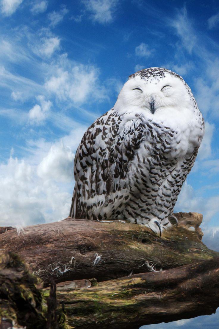 Snowy Owl by Dejan Velickovic
